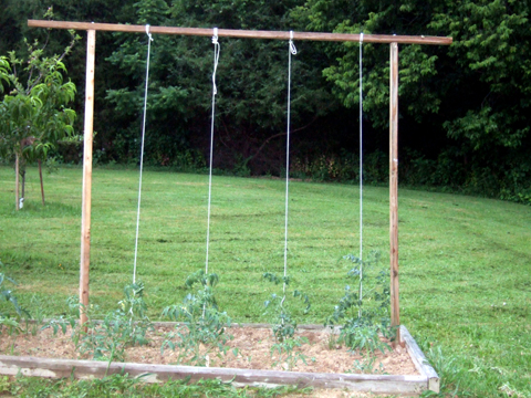 you donu0027t actually tie the clothesline to the tomato plant you make a loop at the base of the plant so it is not tight as