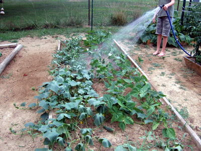 Merveilleux The Vegetable Garden Is Looking Good Again Because We Have Been Watering It  Day And Night: