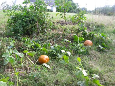 CompostPumpkins2