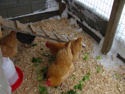 Chickens in snow 3