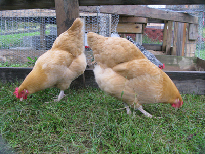 Chickens_Grazing1