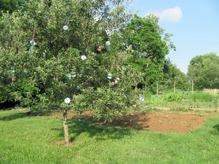 CD Apple Tree1