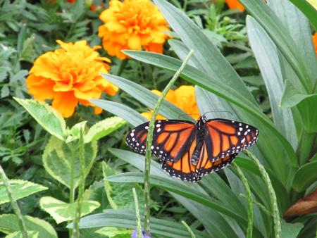 Butterflies_Flowers_1