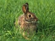 Rabbit_smallest