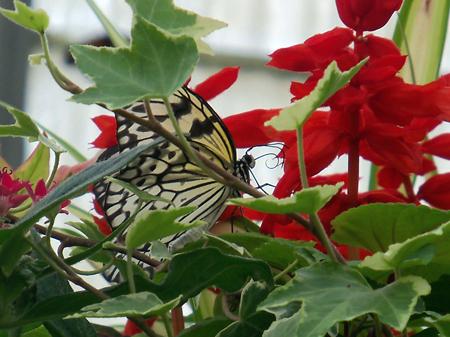 Butterflies_Flowers_5