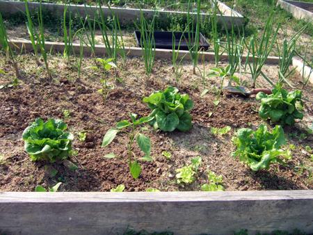 Peppers_Lettuce1