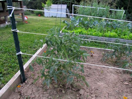 Tomato_Stake_and_weave_CU