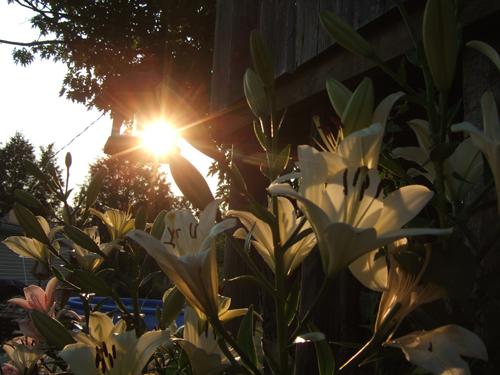 Sun_on_Lilies
