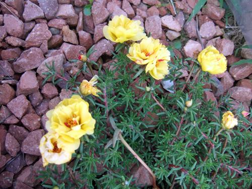 Yellow Rose Moss