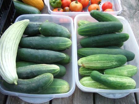 Harvest_Cucumbers