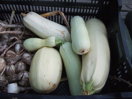Harvest_White_Zuchinni