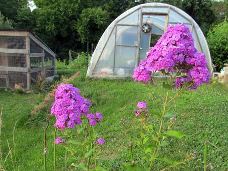 Phlox Greenhouse