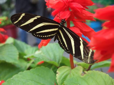 Butterflies_Flowers_3