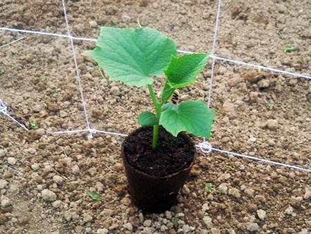 Trellis Cucumber Plant