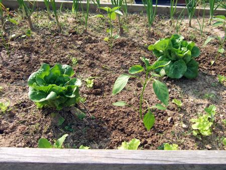 Peppers_Lettuce2