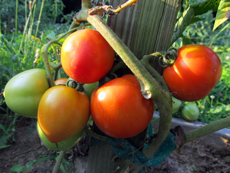 4th of July Tomatoes 1