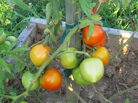 4th of July Tomatoes 2