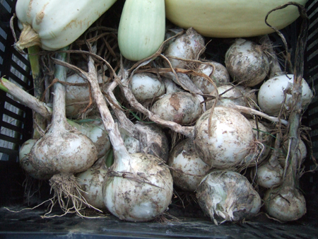 Harvest_Onions