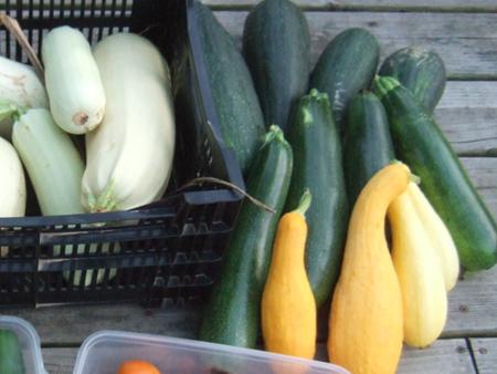 Harvest_Zuchinni_YellowSquash