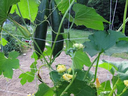 Luffa Blooms 2