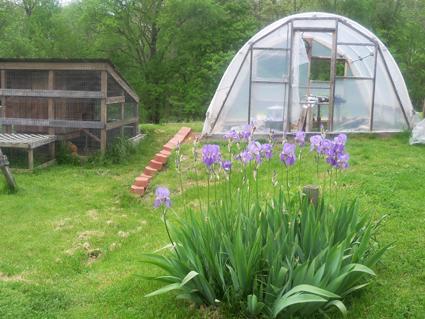 Greenhouse Iris