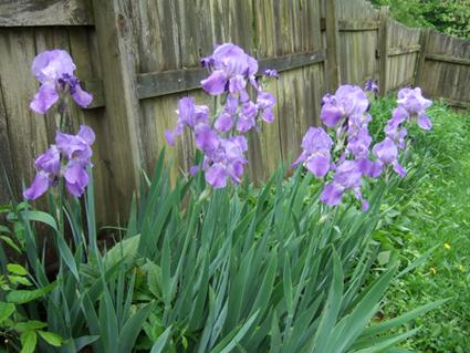 Iris 4