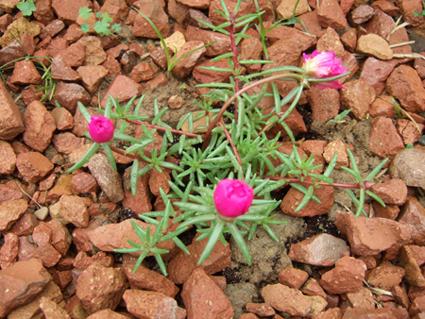 Rose Moss 1