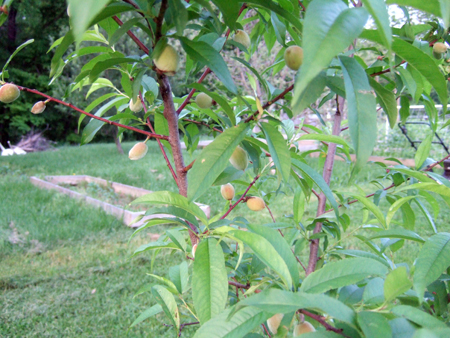 Small Tree Young Peaches 2