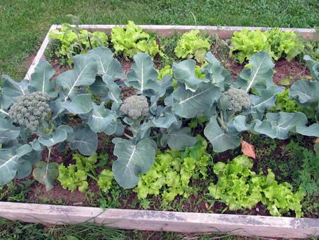 Broccoli_Lettuce