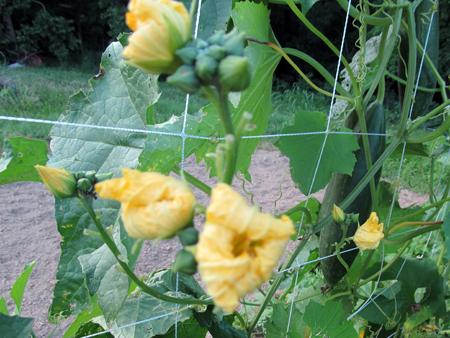 Luffa Blooms 1